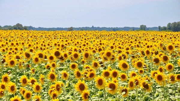 2 local Sunflower Fields expected to bloom in early September